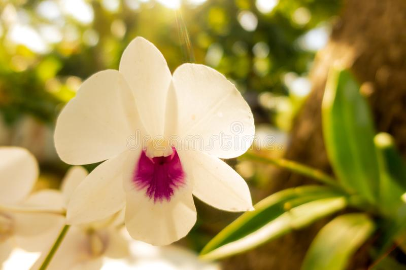 white orchids is considered the queen of flowers in Thailand stock photos