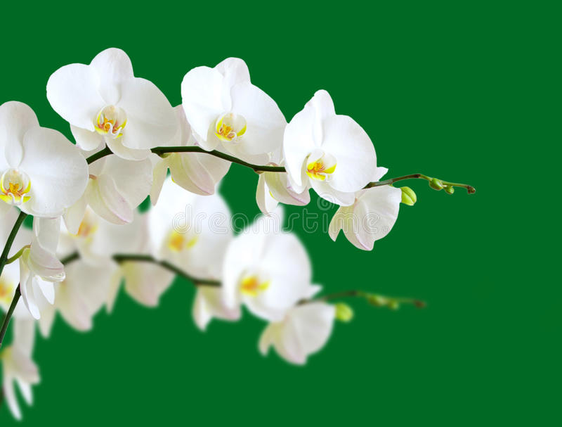 Download Orchids stock photo. Image of closeup, bloom, nature - 33729116