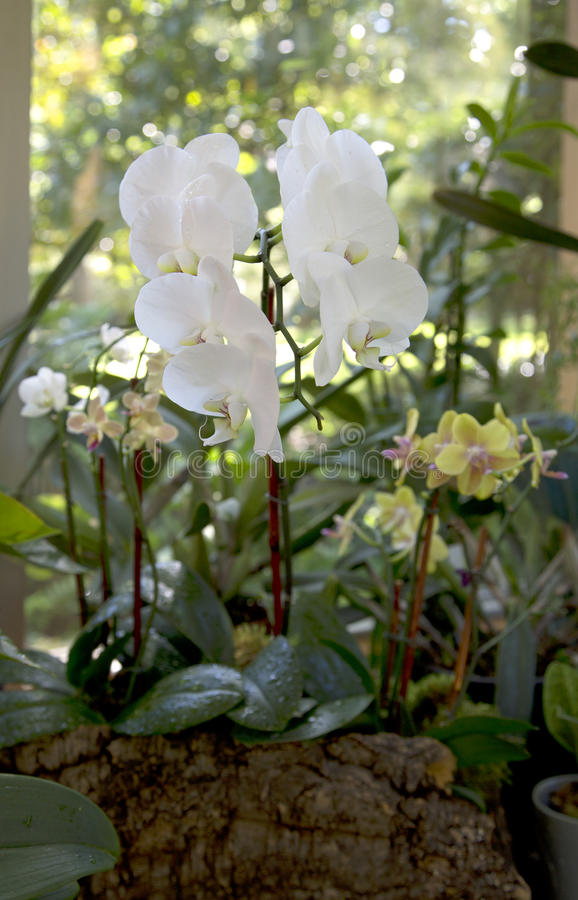 Orchids on the window of green house stock image
