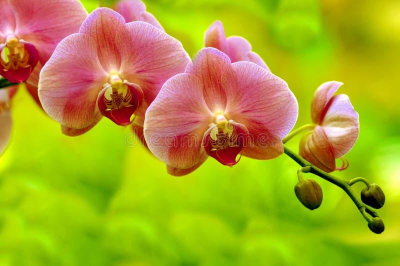 orchidssonata arkivbilder