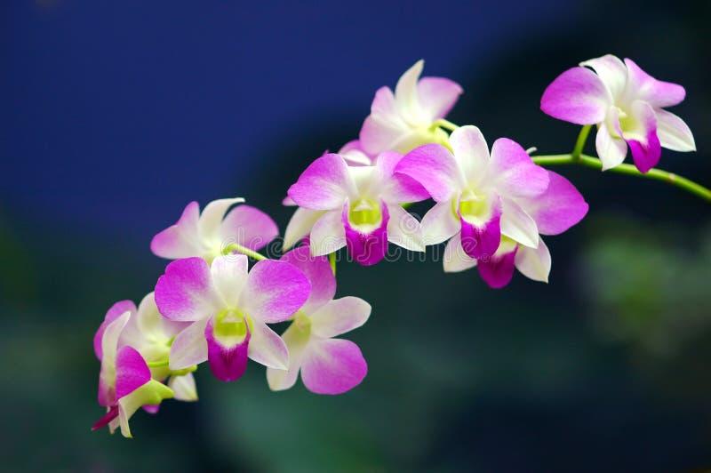 orchidssonata royaltyfri fotografi