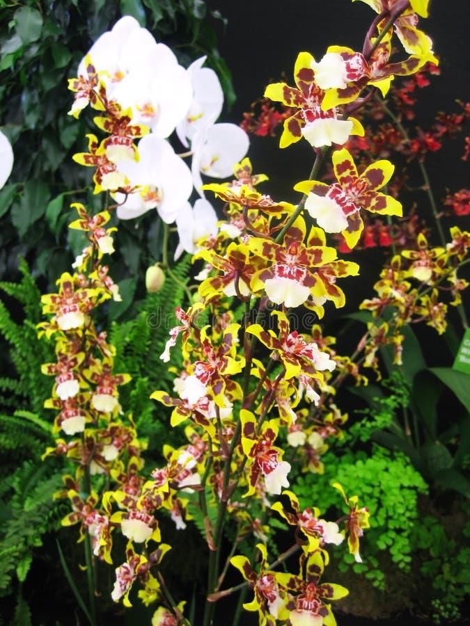 orchidstiger fotografering för bildbyråer