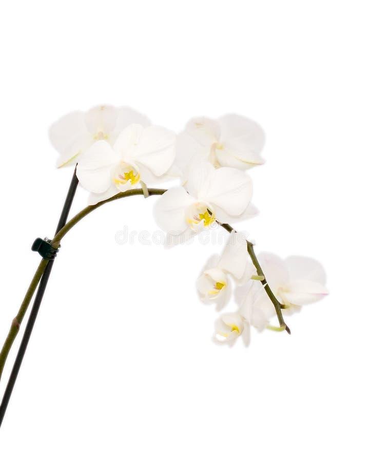 orchidwhite arkivfoto