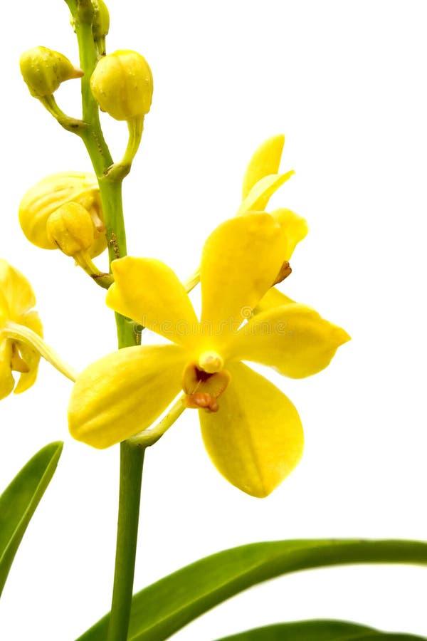 orchidyellow royaltyfri foto