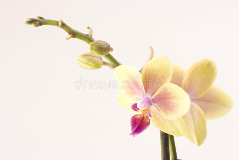 orchidyellow royaltyfria bilder