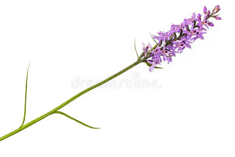 Orchis imagens de stock royalty free