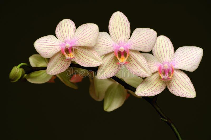 Orchis fotografia stock immagine di fiori ornamentale for Fiori ornamentali