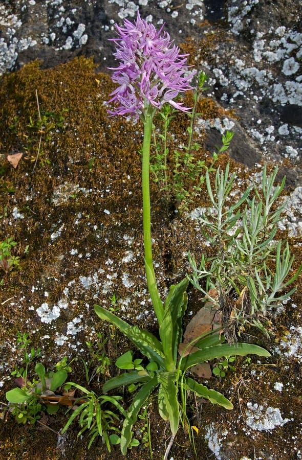 Orchis italica, Sicily, Włochy zdjęcia stock