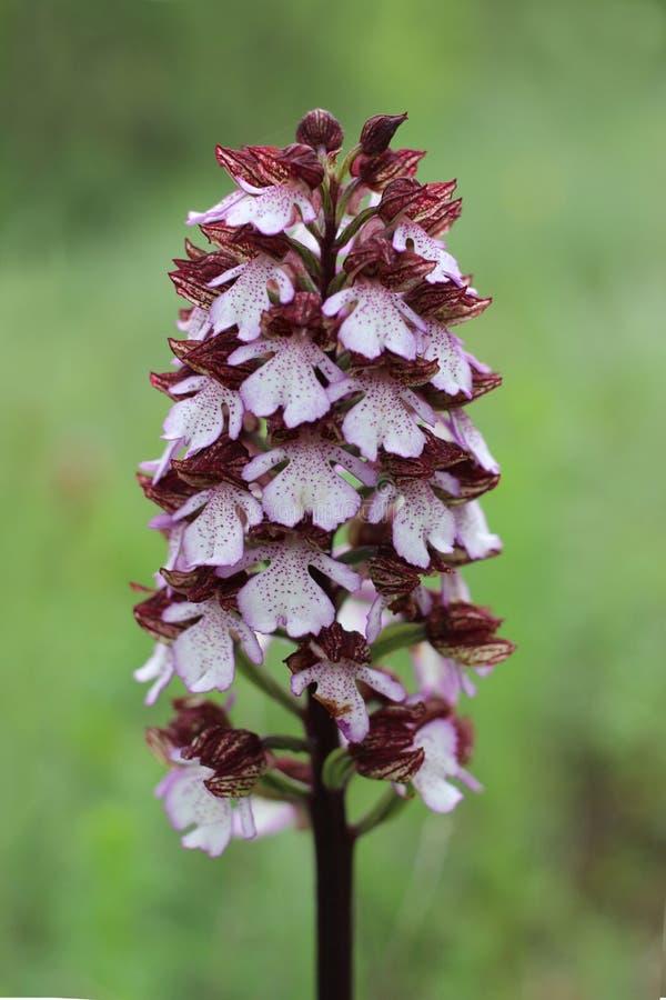 Orchis-purpurea, die Damenorchidee, Familie Orchidaceae lizenzfreie stockbilder