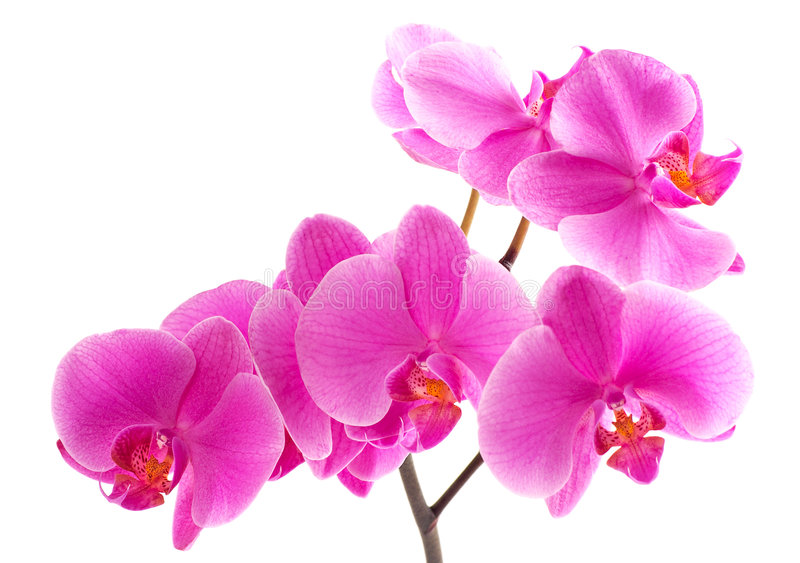 orchyd紫色 库存图片