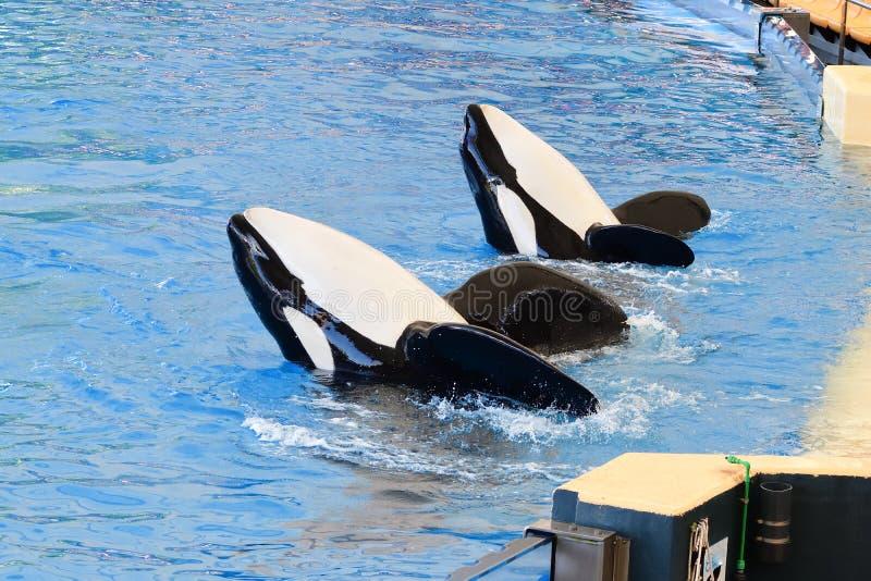 Orcinus orca dell'orca fotografia stock libera da diritti