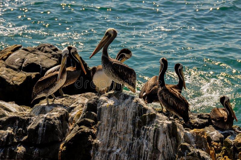 Orda dei pellicani in Vina del Mar, Cile fotografia stock libera da diritti