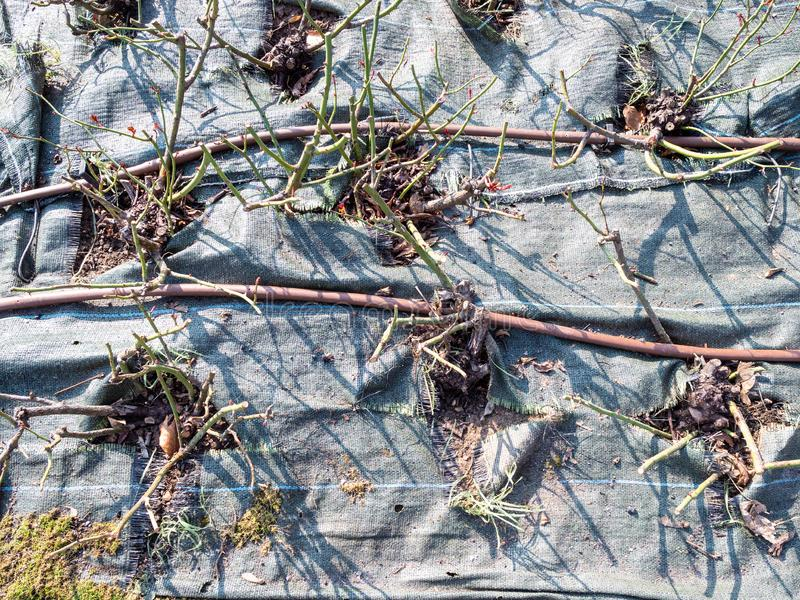 in orde gemaakt die nam struiken door beschermde stof worden behandeld toe stock afbeelding