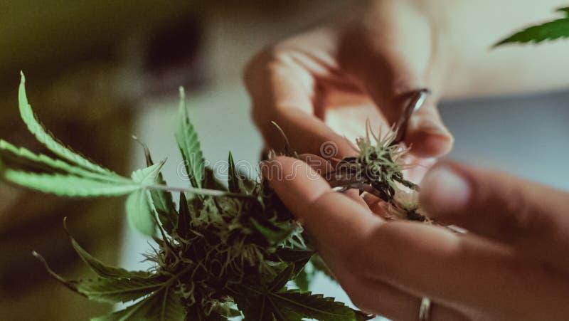 In orde makende marihuanaknoppen in close-up De handen van de vrouw Cannabisoogst stock afbeelding