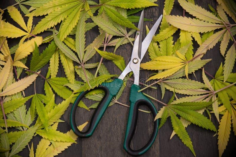 In orde makende schaar met cannabisbladeren - medische marihuanafarmi royalty-vrije stock fotografie