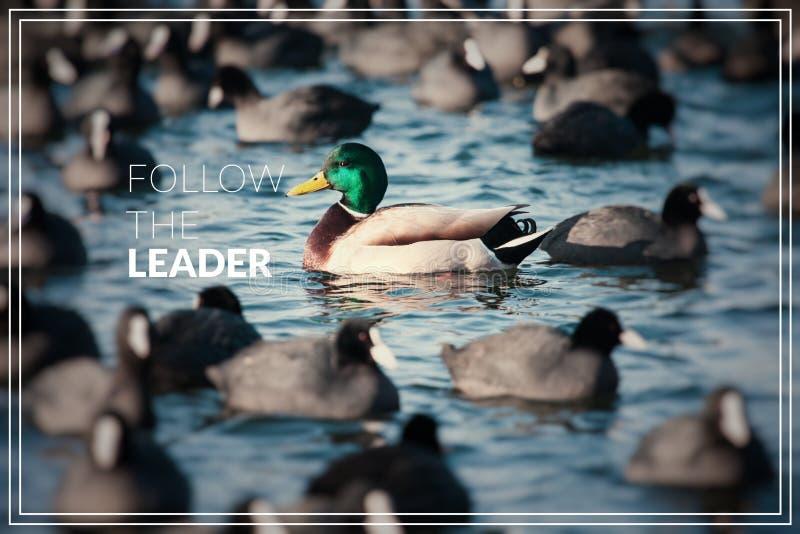 Ordet följer ledaren Löst gräsandandbad i sjön arkivbild