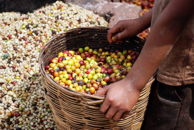 Ordinamento dei chicchi di caffè, Chiapas, Messico fotografie stock libere da diritti