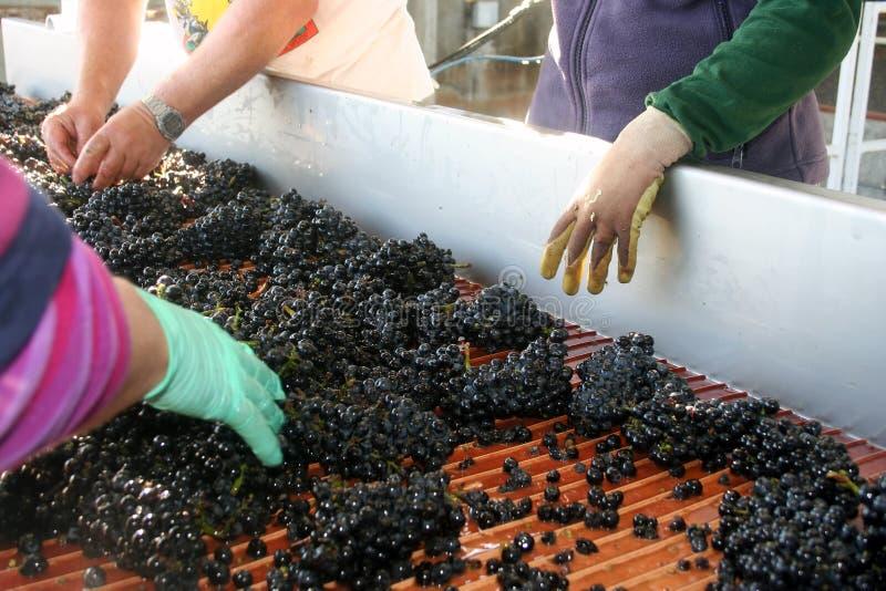 Ordinamento dell'uva fotografia stock libera da diritti