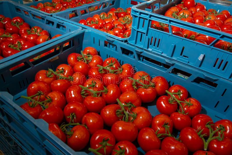 Ordinando e catena di imballaggio dei pomodori rossi maturi freschi sulla vite dentro immagine stock libera da diritti