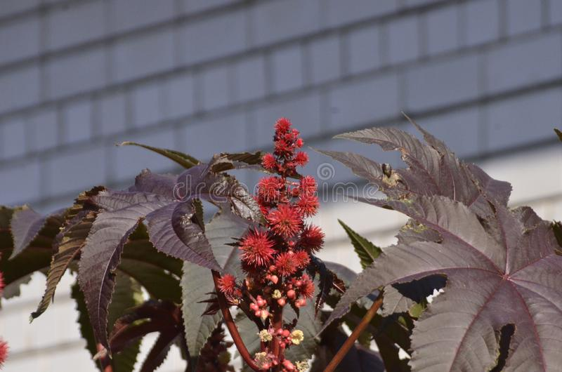 The ordinary castor-oil plant with round seeds like prickly balls royalty free stock photo