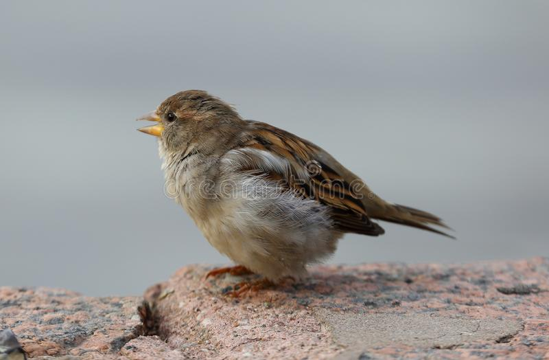 The ordinary city Sparrow. On the fence royalty free stock images