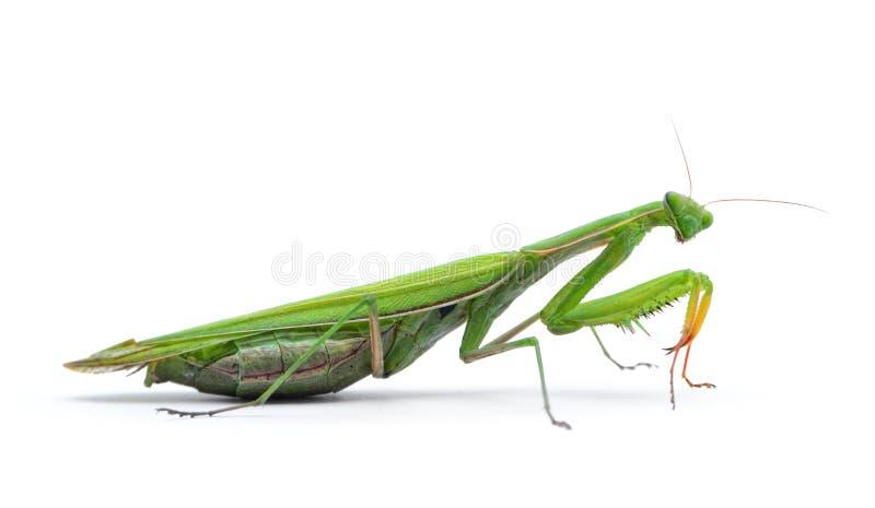 Ordinary, european mantis religiosa, isolated on white background.  stock photo
