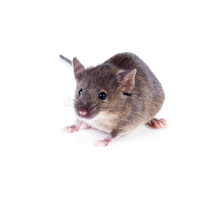 An ordinary house mouse on a white background. An ordinary house mouse isolated on a white background royalty free stock image