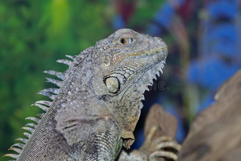 An ordinary iguana, or a green iguana  is a large herbivorous lizard, leading a daily woody life. It lives in Central America royalty free stock image