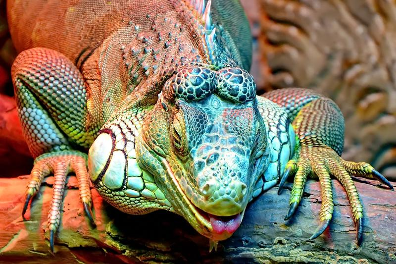 An ordinary iguana, or a green iguana is a large herbivorous lizard, leading a daily woody life. royalty free stock images