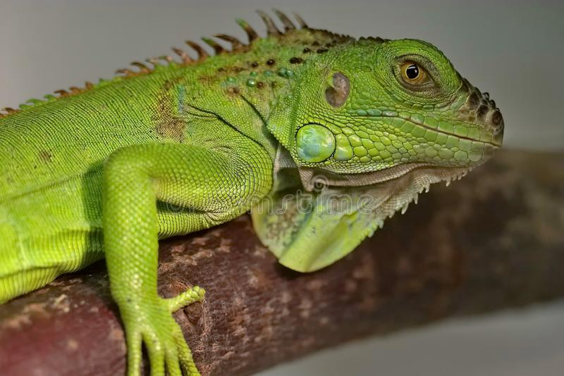An ordinary iguana, or a green iguana is a large herbivorous lizard, leading a daily woody life. It lives in Central America stock image
