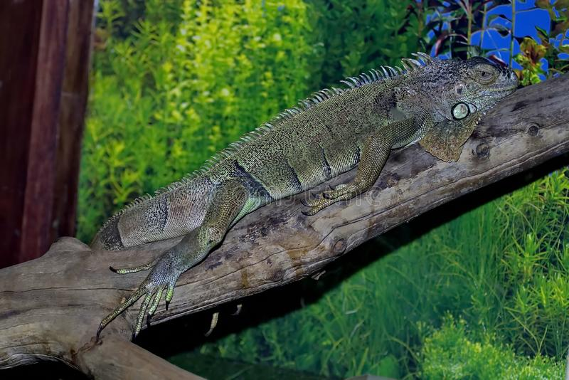 An ordinary iguana, or a green iguana is a large herbivorous lizard, leading a daily woody life. It lives in Central America royalty free stock photography