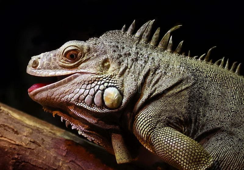 An ordinary iguana, or a green iguana Lat. Iguana iguana is a large herbivorous lizard, leading a daily woody life. stock photo