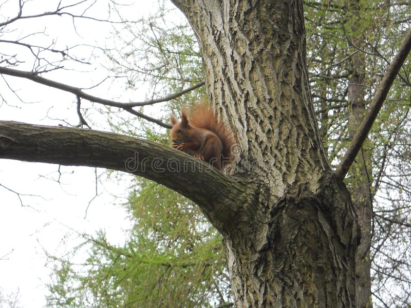Ordinary red squirrel in the Park. Photo taken in spring in the Park city of Kaliningrad. This is a very sociable animal, posed with pleasure royalty free stock photo