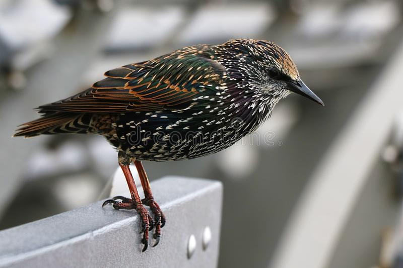 An ordinary starling. Bird in the tribal beautiful plumage stock photos