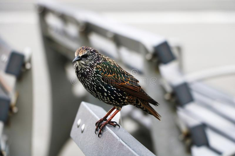 An ordinary starling. Bird in the tribal beautiful plumage.  stock images