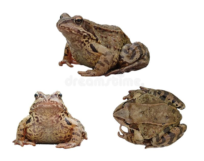 An ordinary water frog in three projections, isolated on a white background. Collection, set stock images