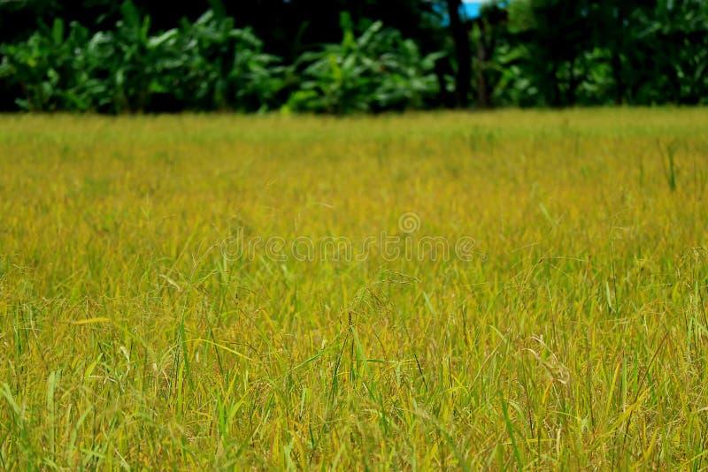 Ordna till för skörd!! Paddy Field av de mogna risväxterna i solljuset royaltyfria foton