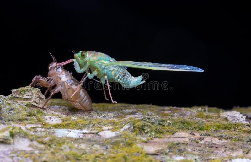 Ordna till till flugan av cikadan efter ut från skölden arkivbild