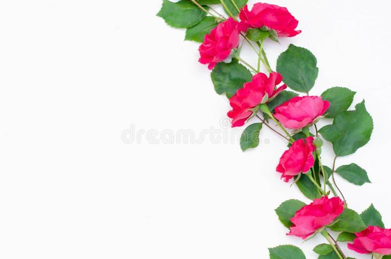 Ordning av små rosa rosor på vit royaltyfri bild