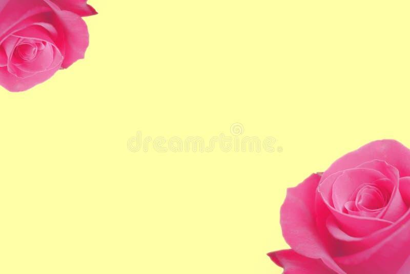 ordningen av closeups av den ljusa rosa färgrosen blomstrar itu hörn av en gul pastellfärgad bakgrund royaltyfri bild