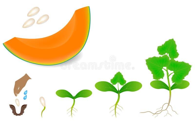 Ordre d'une usine de melon de cantaloup s'élevant d'isolement sur le blanc illustration libre de droits