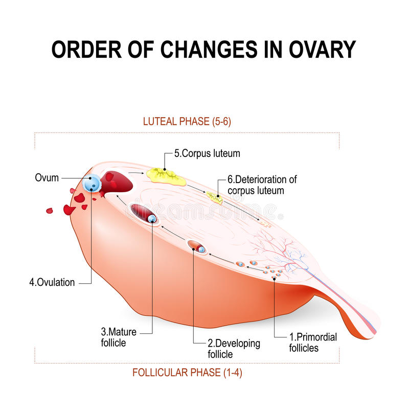 Ordre des changements de l'ovaire illustration de vecteur