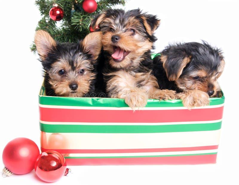 Ordures des chiots mignons de Yorkie dans un boîte-cadeau pour Noël photographie stock
