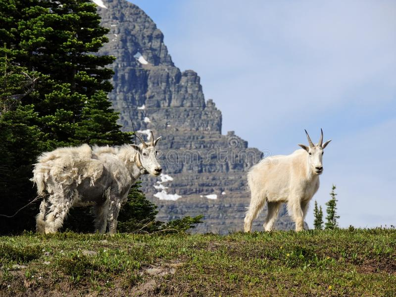 Oreamnos козы горы americanus на дороге Идти-к--Солнця, вдоль тропы на национальном парке Монтане США ледника пропуска Logan стоковые фото