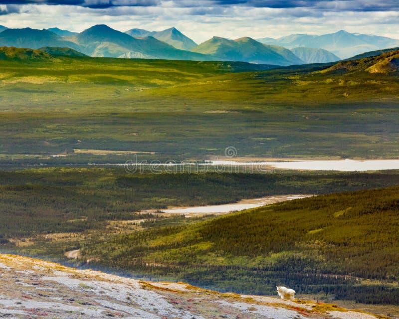 Oreamnos el Yukón americanus Canadá de la cabra de montaña imagen de archivo