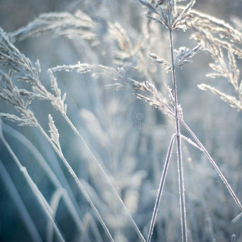 Orecchie congelate, piante Natura in inverno fotografia stock libera da diritti