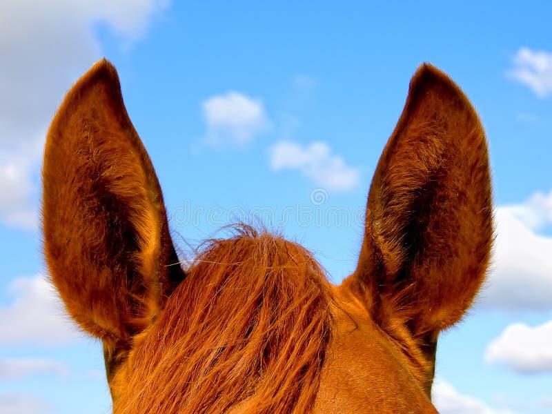 Orecchie del cavallo fotografia stock