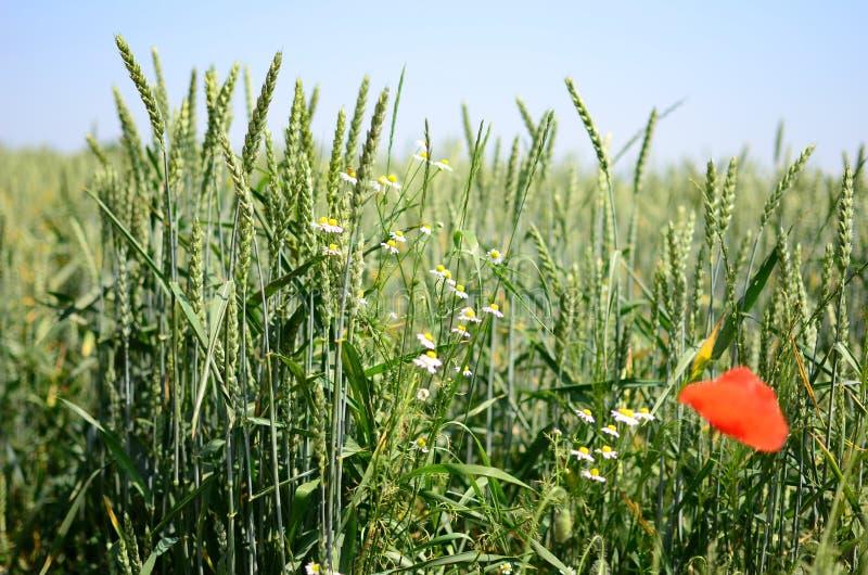 Orecchie del cereale immagine stock libera da diritti