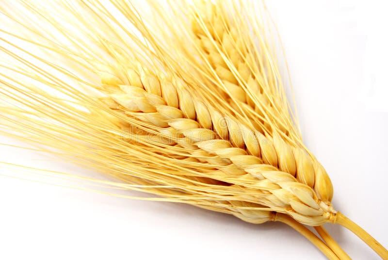 Orecchie del frumento. fotografie stock libere da diritti