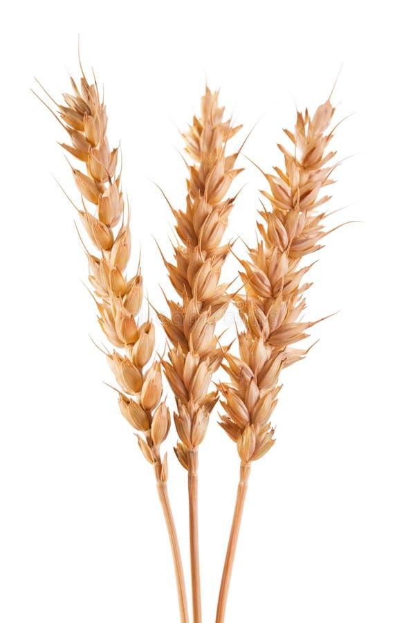 Orecchie del frumento isolate su priorità bassa bianca immagine stock